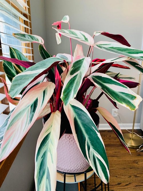Variegated indoor plants