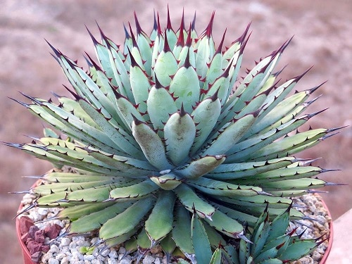 Most Beautiful Indoor Agave Varieties