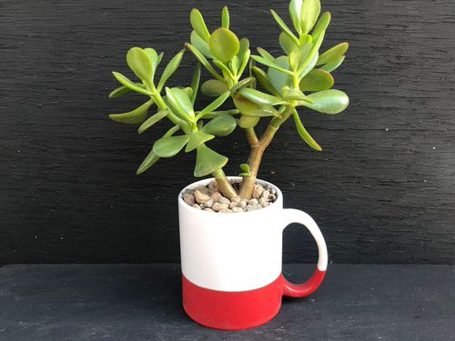 Succulents you can Grow in Teacups and Coffee Mugs