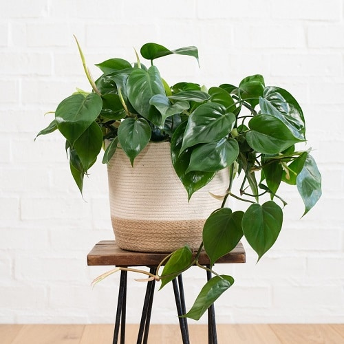 Easy to Grow Philodendrons