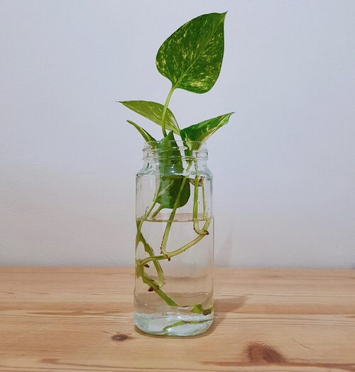 Indoor Plants you can Grow from Cuttings