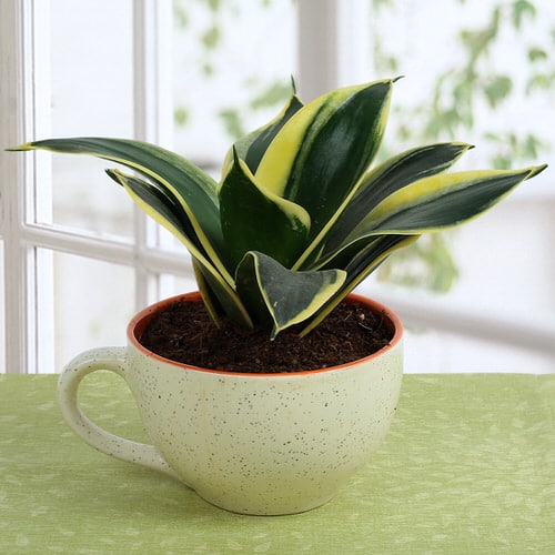 Succulents you can Grow in Teacups and Coffee Mugs 4