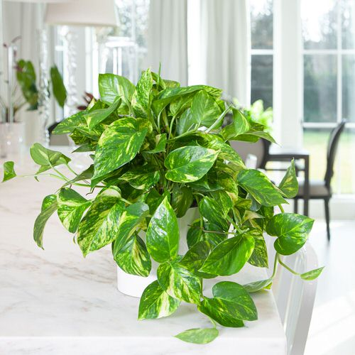 Houseplants That Improve Productivity 6
