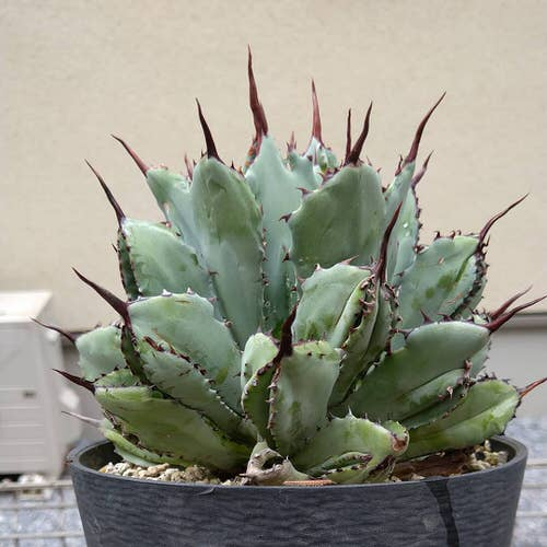 Most Beautiful Indoor Agave Varieties 7