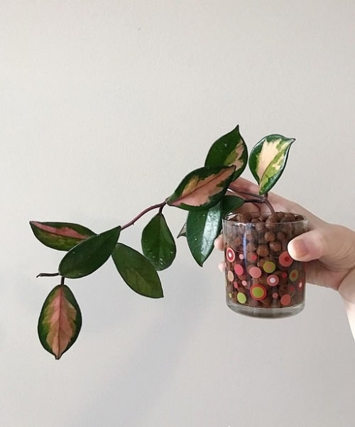 Indoor Plants you can Grow from Cuttings 7