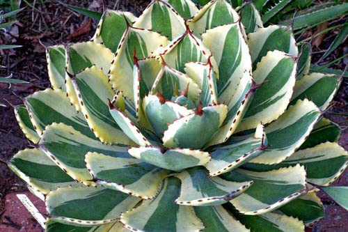 Most Beautiful Indoor Agave Varieties 9