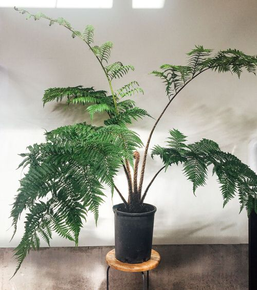 Trees You Can Grow Indoors 11