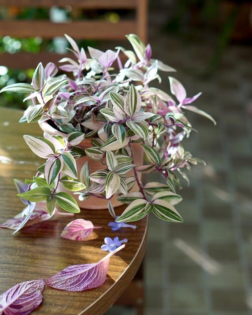 Indoor Plants you can Grow from Cuttings 2