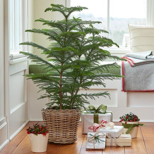 Trees You Can Grow Indoors 3