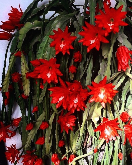 Types of Holiday Cacti 4