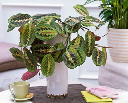 Indoor Plants you can Grow from Cuttings 4