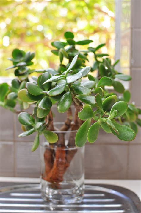Indoor Plants you can Grow from Cuttings 5