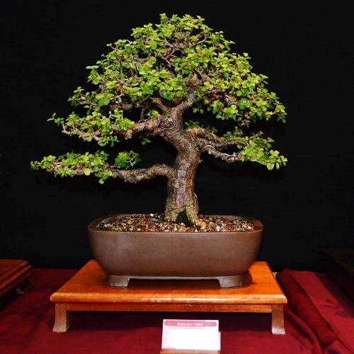 How to Grow Your Own Bonsai Quickly