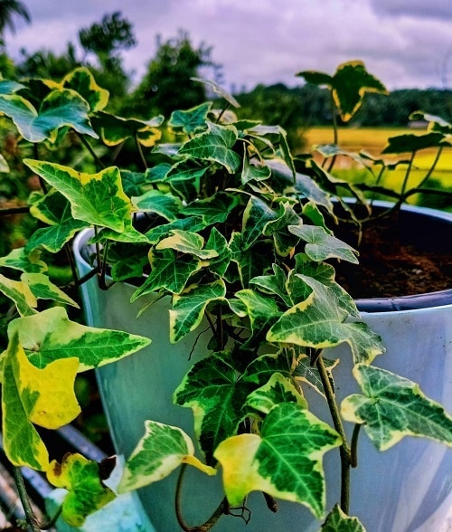 English Ivy Benefits