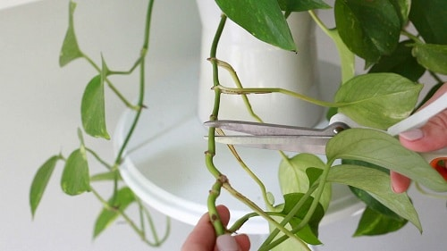 Secret Tips to Grow Lush Pothos Plant