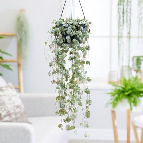 Indoor Plants for a Minimalist Home 7