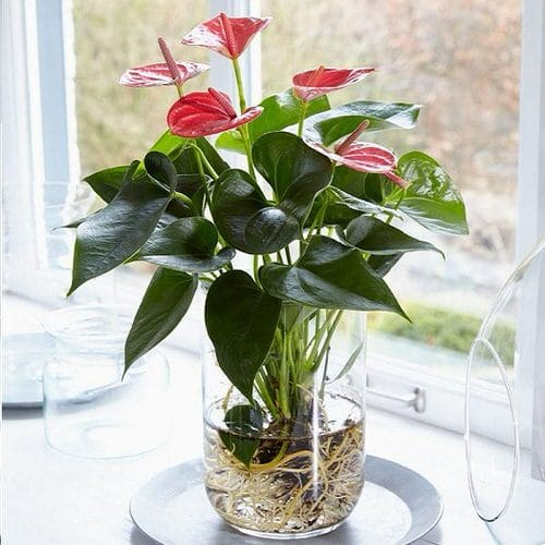 Growing Anthuriums in Water