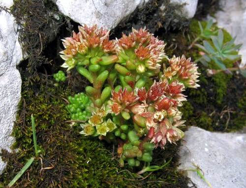 Types of Sedum Varieties 37