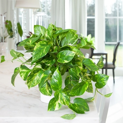 Secret Tips to Grow Lush Pothos Plant 3