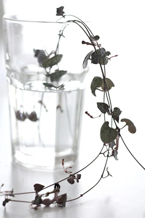 Indoor Vines that Grow in Water