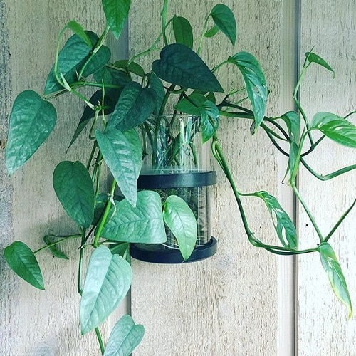 Indoor Vines that Grow in Water 3
