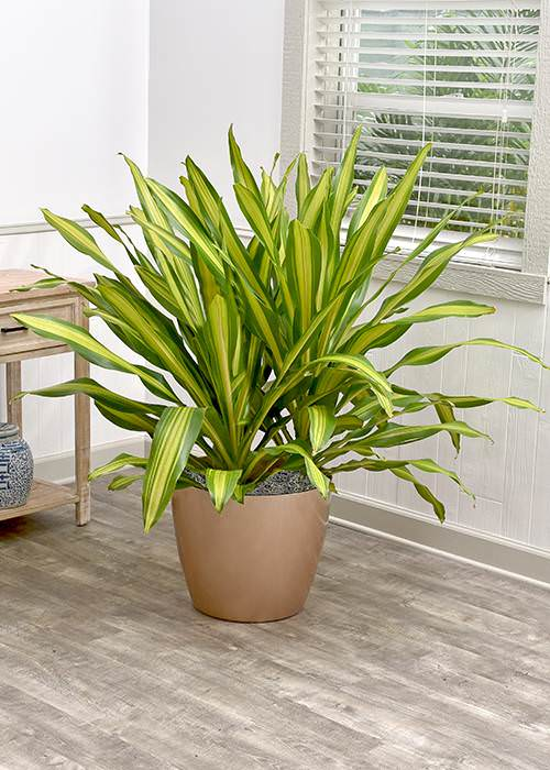 Best Tall Houseplants with Patterns 6