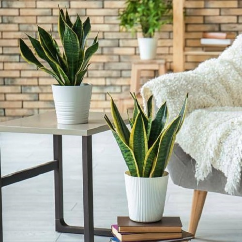 Snake Plant Decoration Ideas 5