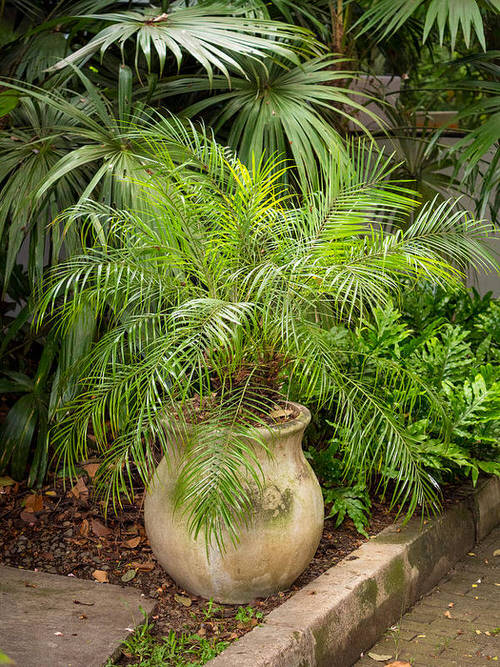 Types of Palm Plants 8
