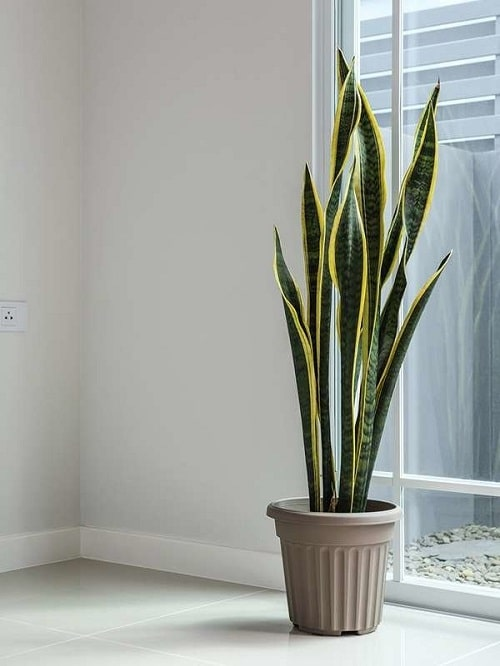 Snake Plant Decoration Ideas 7