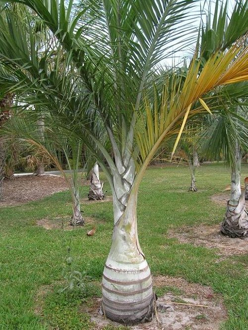 Types of Palm Plants 9