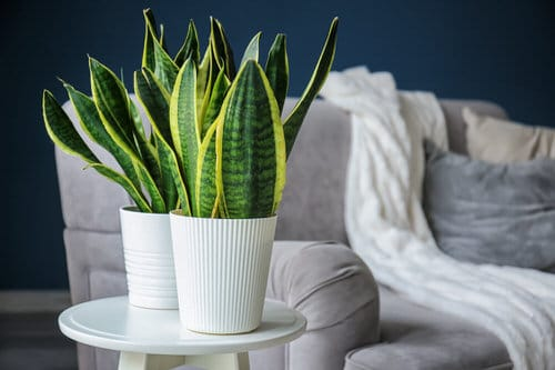 Snake Plant Decoration Ideas