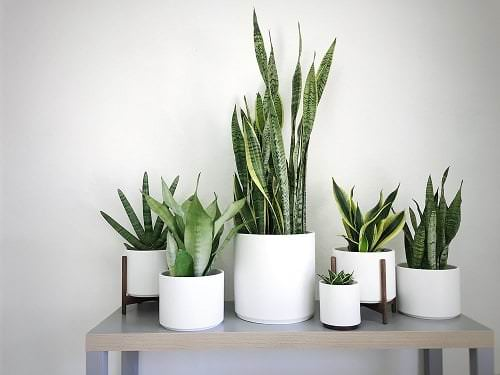 Snake Plant Decoration Ideas 9