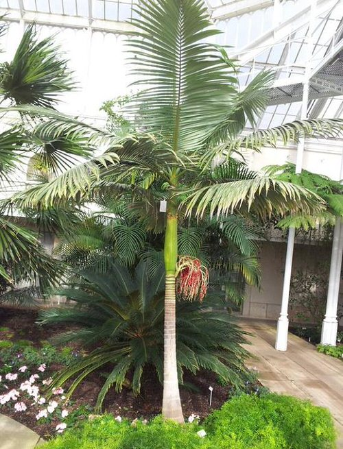 Types of Palm Plants 11