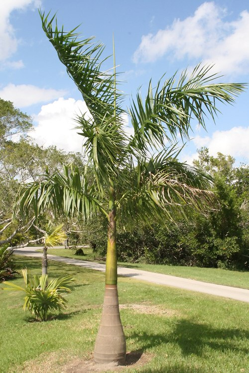 Types of Palm Plants 12