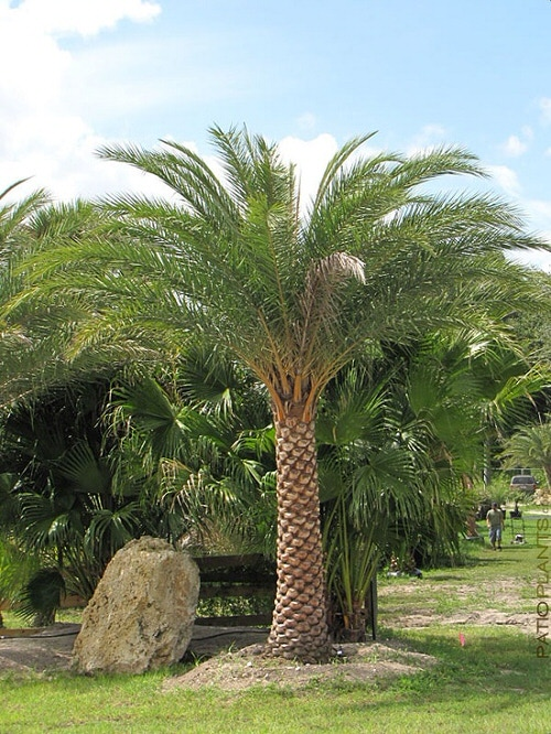 Types of Palm Plants 13