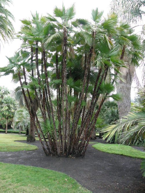 Types of Palm Plants 14