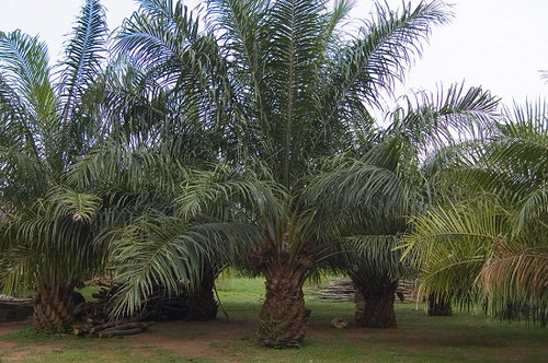 Types of Palm Plants 15