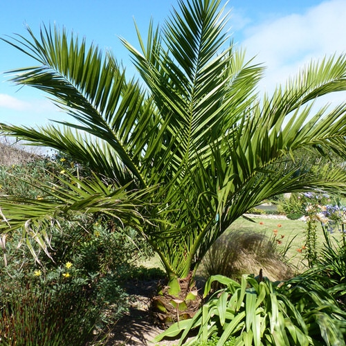 Types of Palm Plants 16
