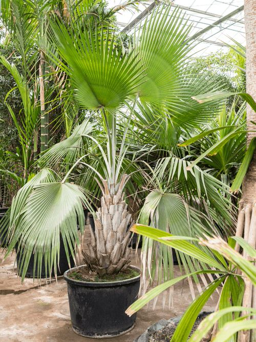 Types of Palm Plants 17