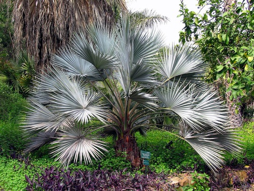 Types of Palm Plants 18