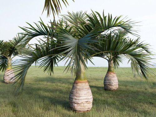 Types of Palm Plants 19
