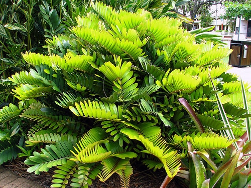 Types of Palm Plants 20