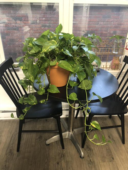 Best Indoor Plants for Dining Room 2