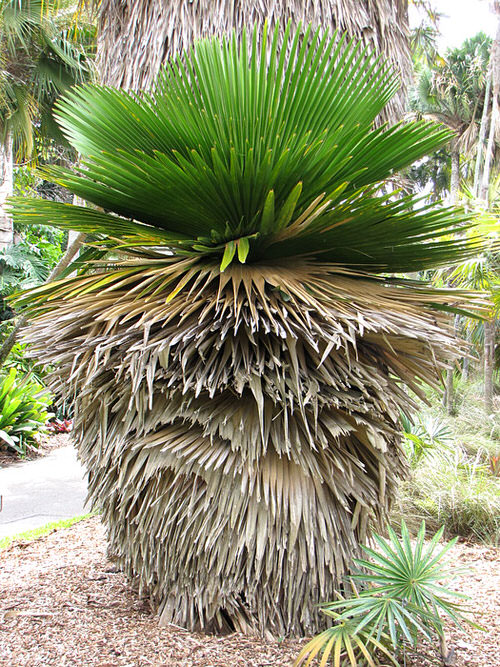 Types of Palm Plants 21