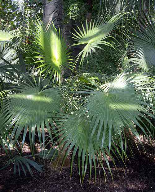 Types of Palm Plants 23