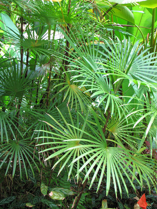 Types of Palm Plants 24