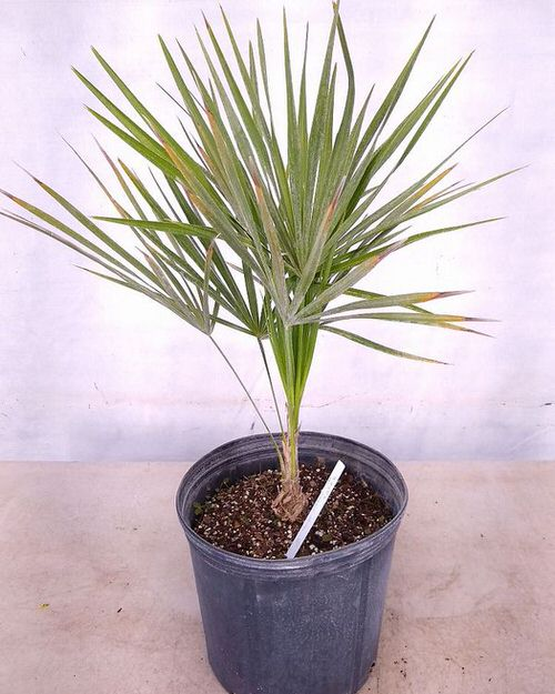 Types of Palm Plants 25
