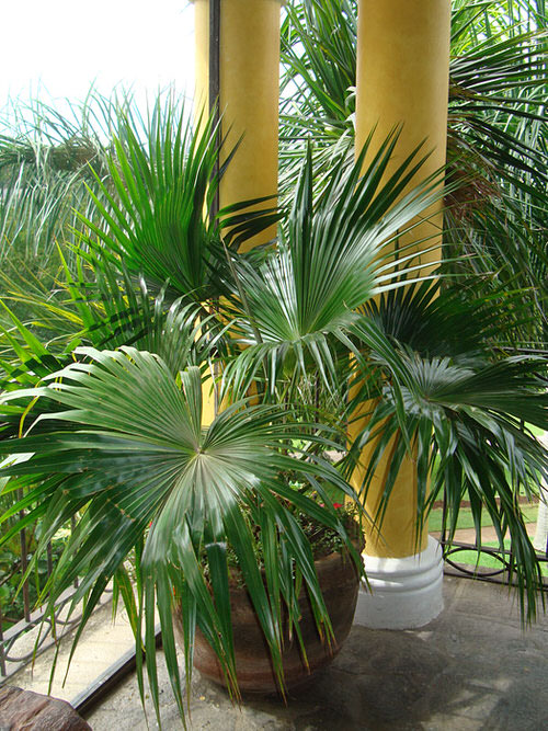 Types of Palm Plants 3