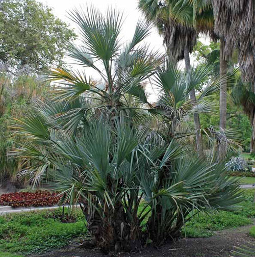 Types of Palm Plants 26