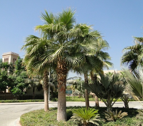 Types of Palm Plants 27